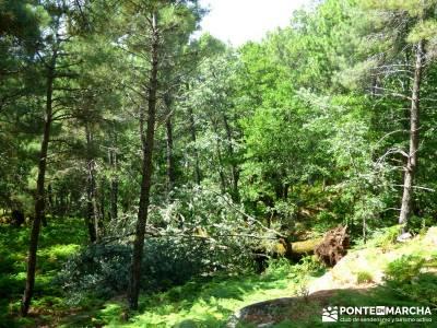 Pinares de la Angostura en Piedralaves;rutas montaña madrid viajes diciembre